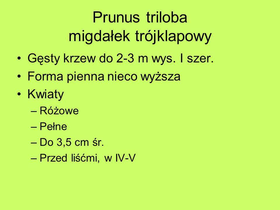 Prunus triloba migdałek trójklapowy