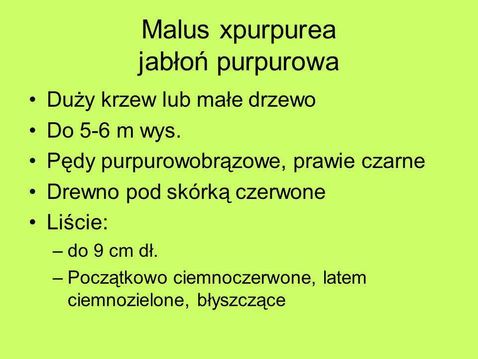 Malus xpurpurea jabłoń purpurowa