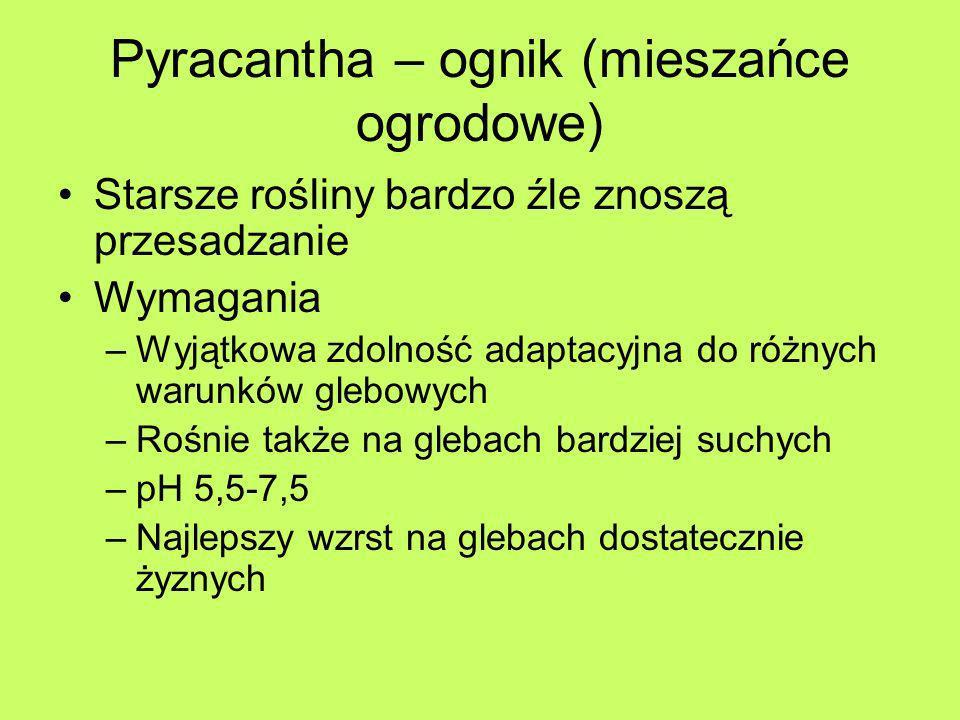 Pyracantha – ognik (mieszańce ogrodowe)