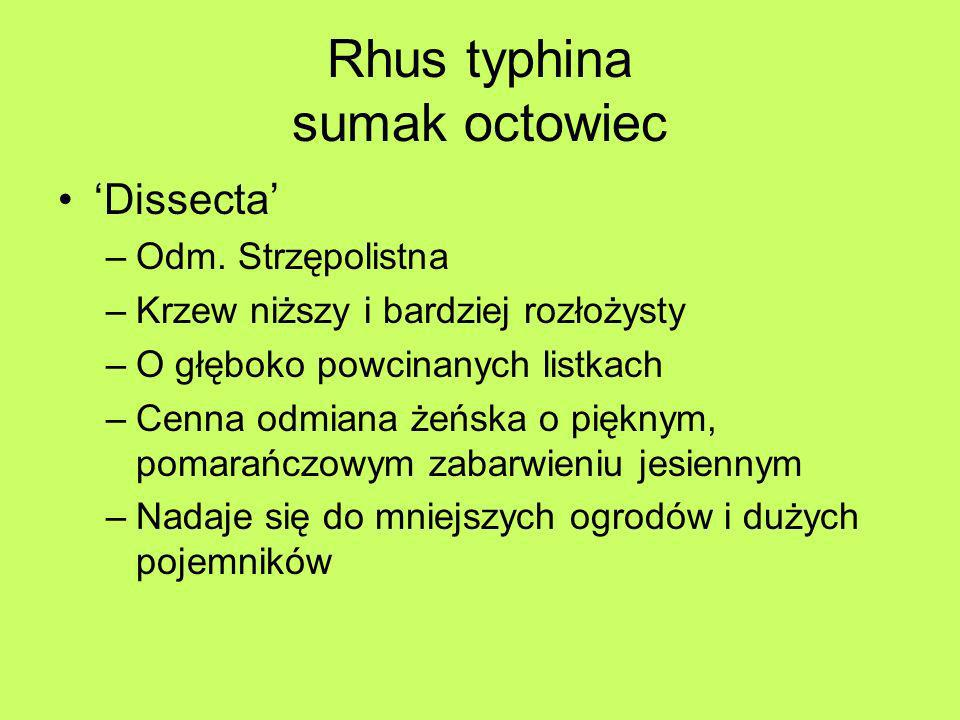 Rhus typhina sumak octowiec