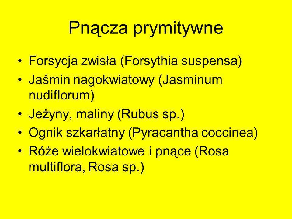 Pnącza prymitywne Forsycja zwisła (Forsythia suspensa)