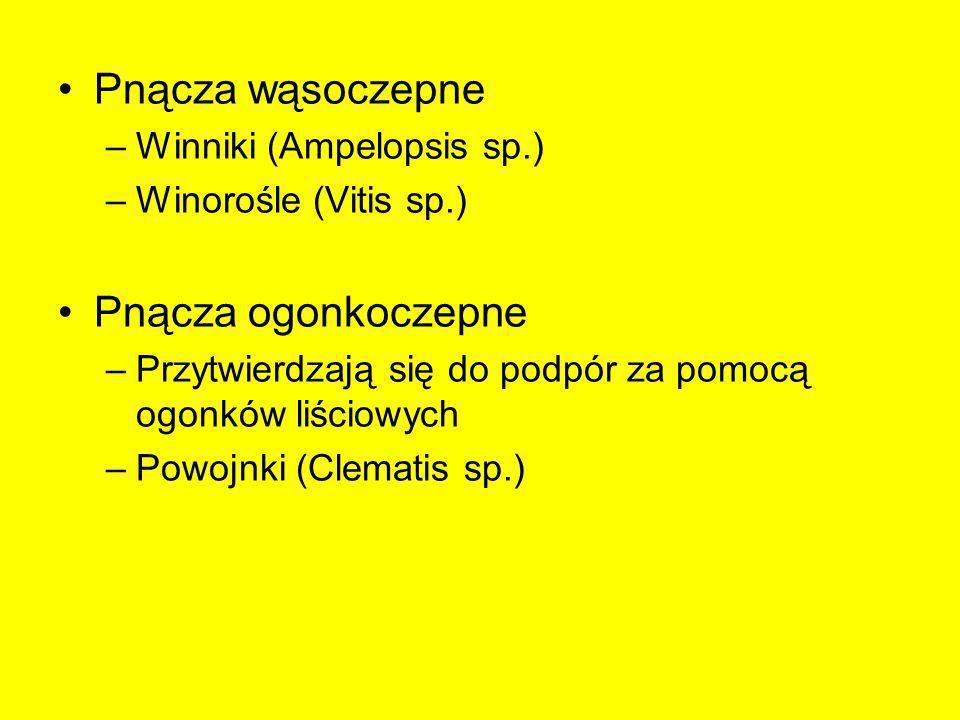 Pnącza wąsoczepne Pnącza ogonkoczepne Winniki (Ampelopsis sp.)