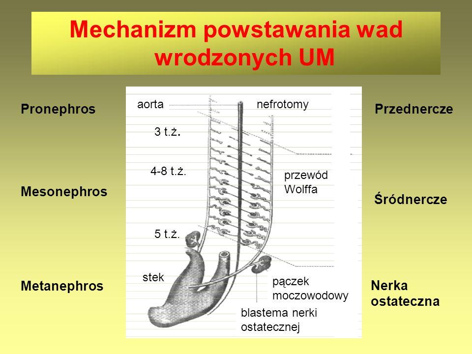 Mechanizm powstawania wad wrodzonych UM