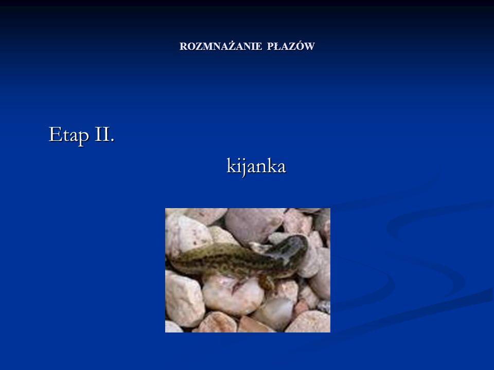 ROZMNAŻANIE PŁAZÓW Etap II. kijanka