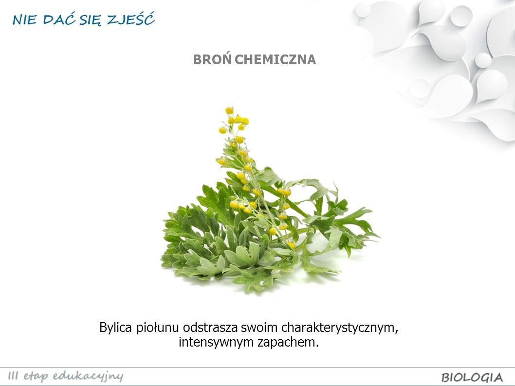 BROŃ CHEMICZNA Bylica piołunu odstrasza swoim charakterystycznym, intensywnym zapachem.