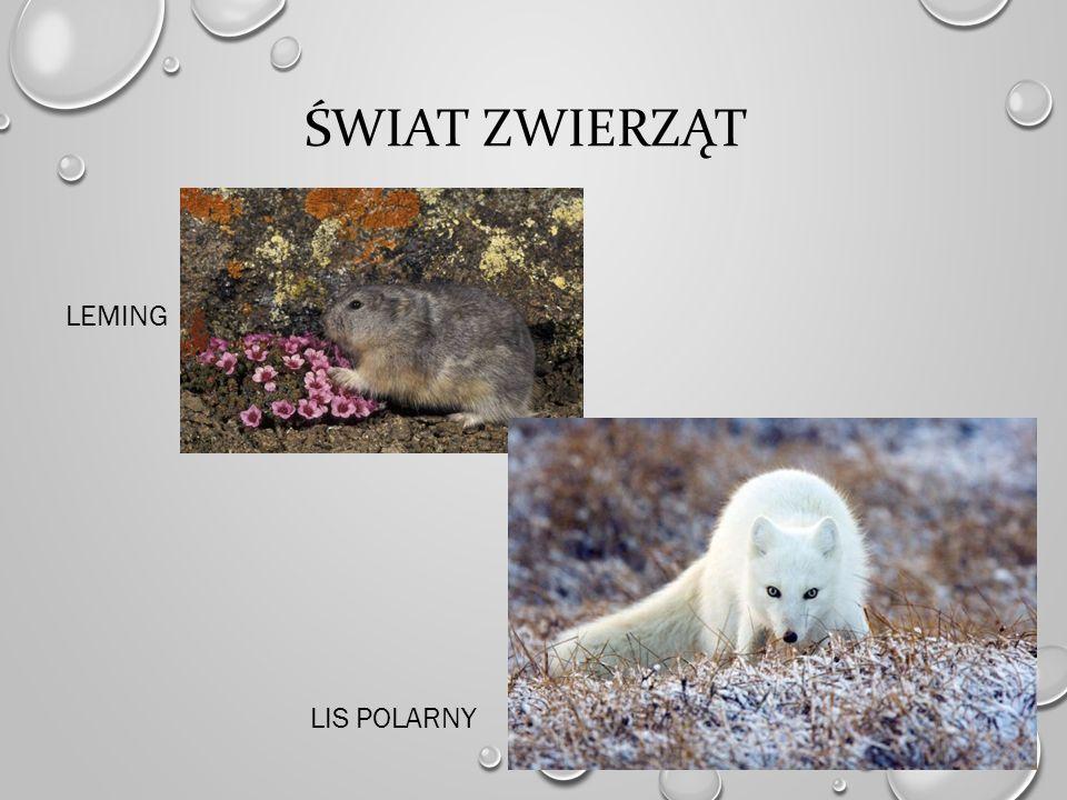 Świat zwierząt Leming lis polarny