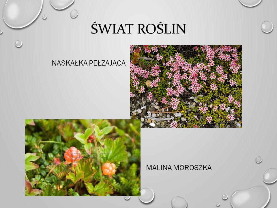 Świat roślin Naskałka pełzająca malina moroszka