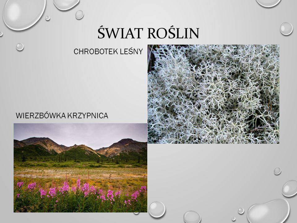 Świat roślin chrobotek leśny Wierzbówka krzypnica