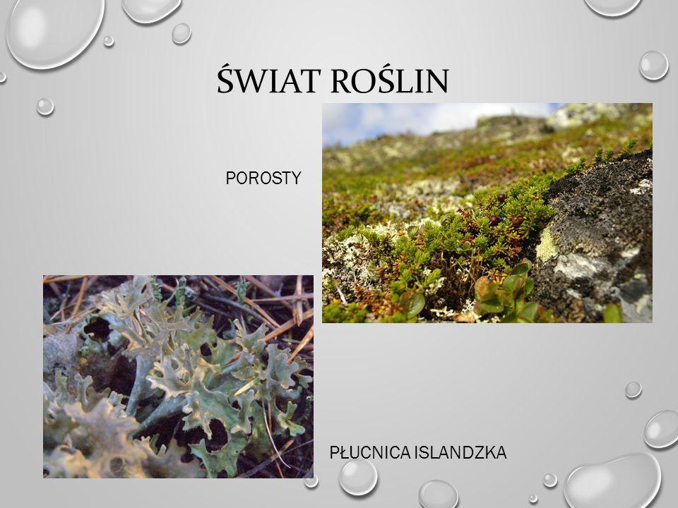 Świat roślin porosty płucnica islandzka