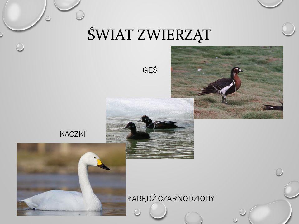Świat zwierząt gęś kaczki łabędź czarnodzioby