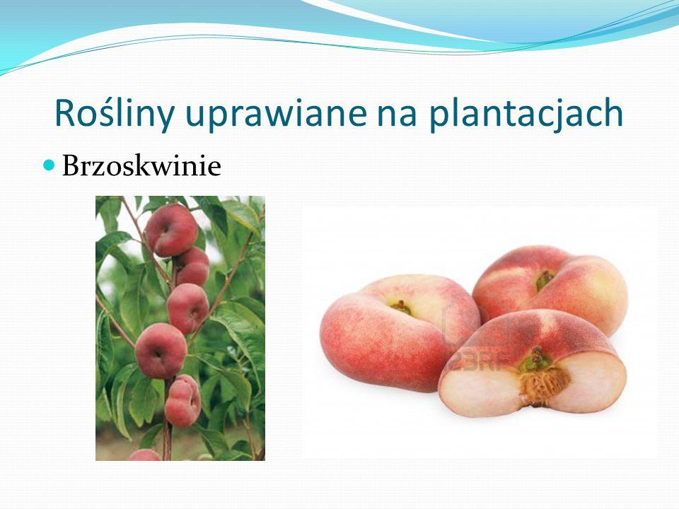 Rośliny uprawiane na plantacjach