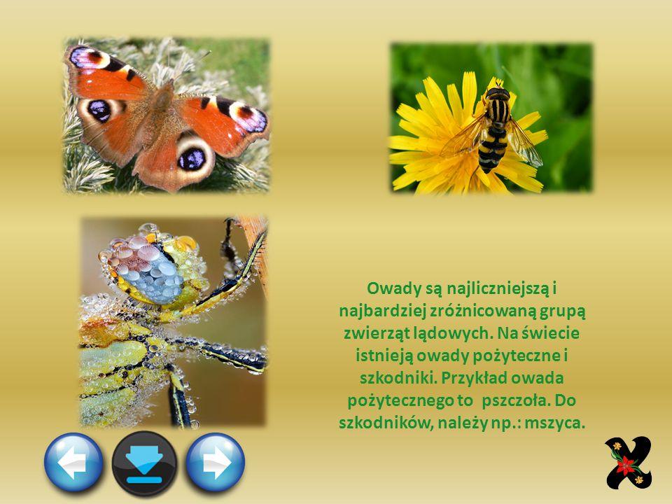 Owady są najliczniejszą i najbardziej zróżnicowaną grupą zwierząt lądowych.