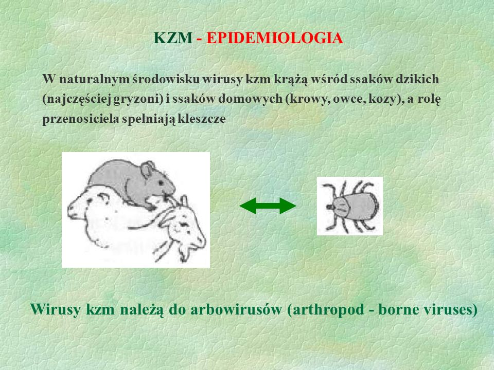 Wirusy kzm należą do arbowirusów (arthropod - borne viruses)