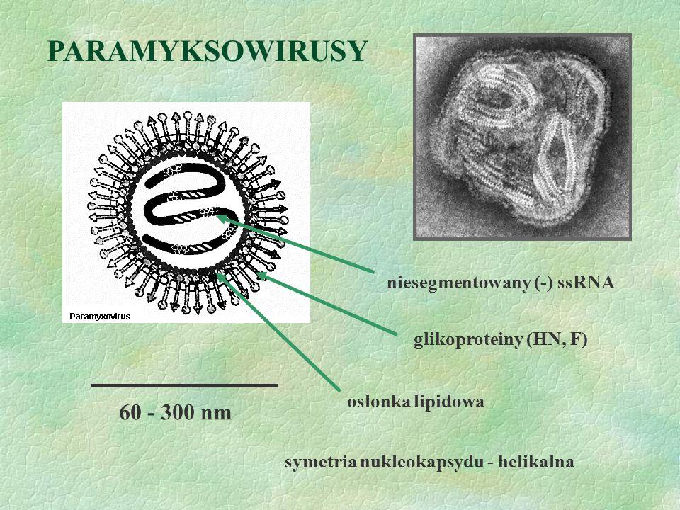 PARAMYKSOWIRUSY 60 - 300 nm niesegmentowany (-) ssRNA