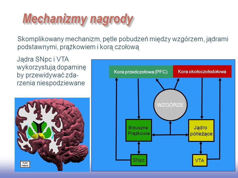 EE141 Mechanizmy nagrody. Skomplikowany mechanizm, pętle pobudzeń między wzgórzem, jądrami podstawnymi, prążkowiem i korą czołową.