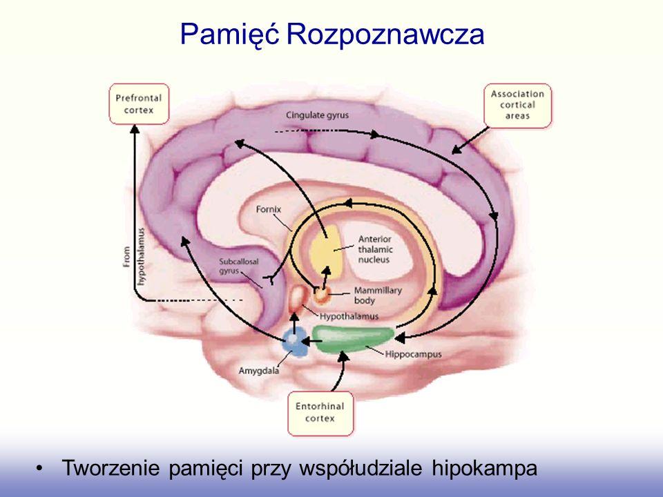 Pamięć Rozpoznawcza Tworzenie pamięci przy współudziale hipokampa