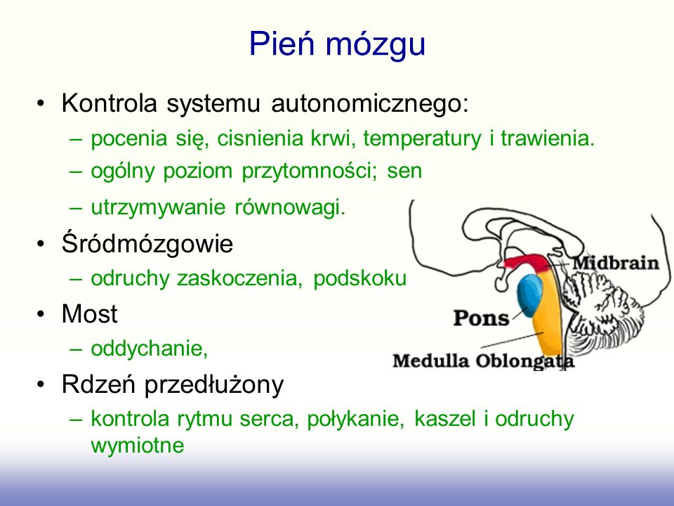 Pień mózgu Kontrola systemu autonomicznego: Śródmózgowie Most