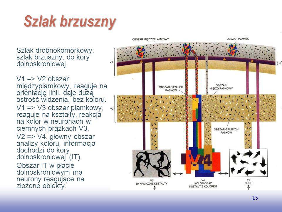 EE141 Szlak brzuszny. Szlak drobnokomórkowy: szlak brzuszny, do kory dolnoskroniowej.