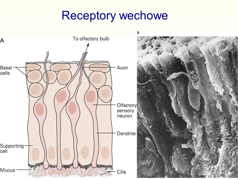 Receptory wechowe