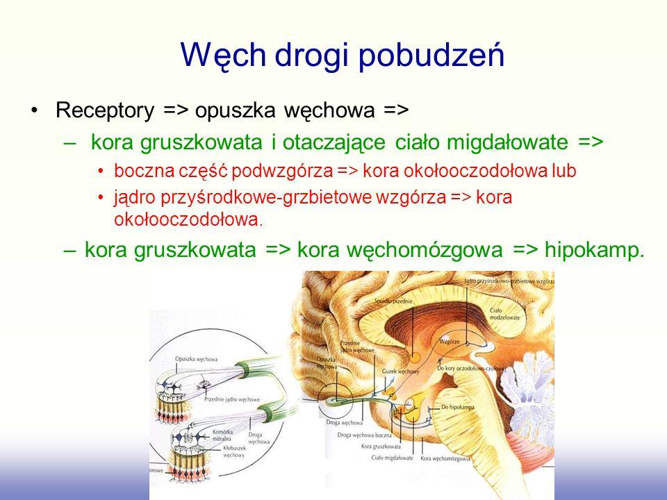 Węch drogi pobudzeń Receptory => opuszka węchowa =>