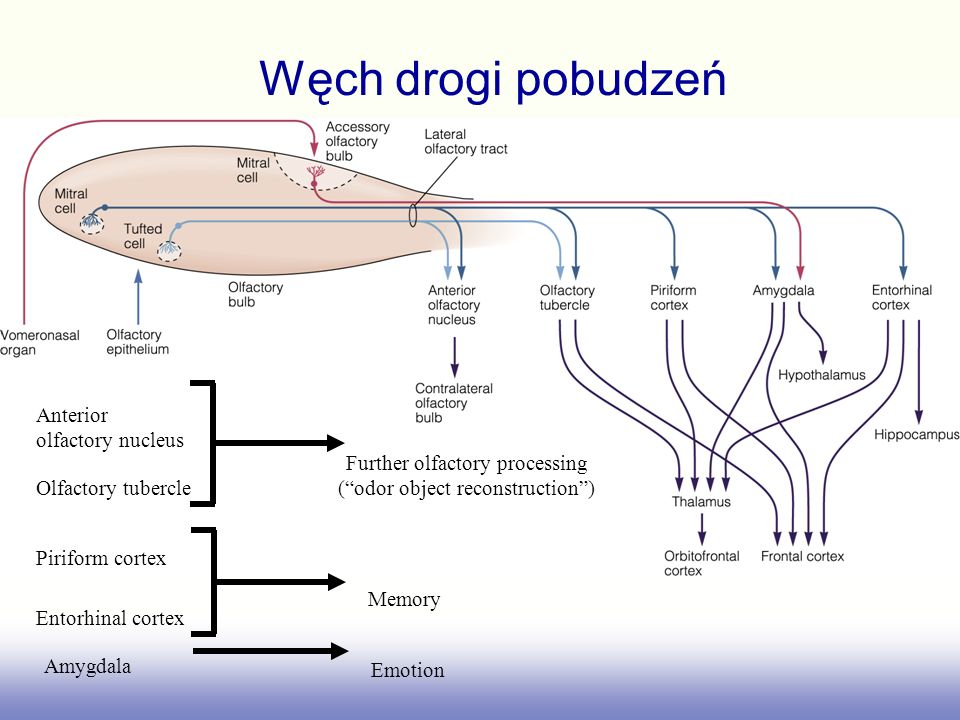 Węch drogi pobudzeń Anterior olfactory nucleus