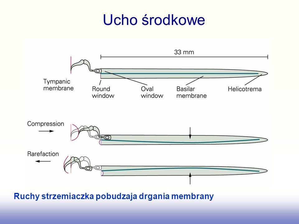 Ucho środkowe Ruchy strzemiaczka pobudzaja drgania membrany