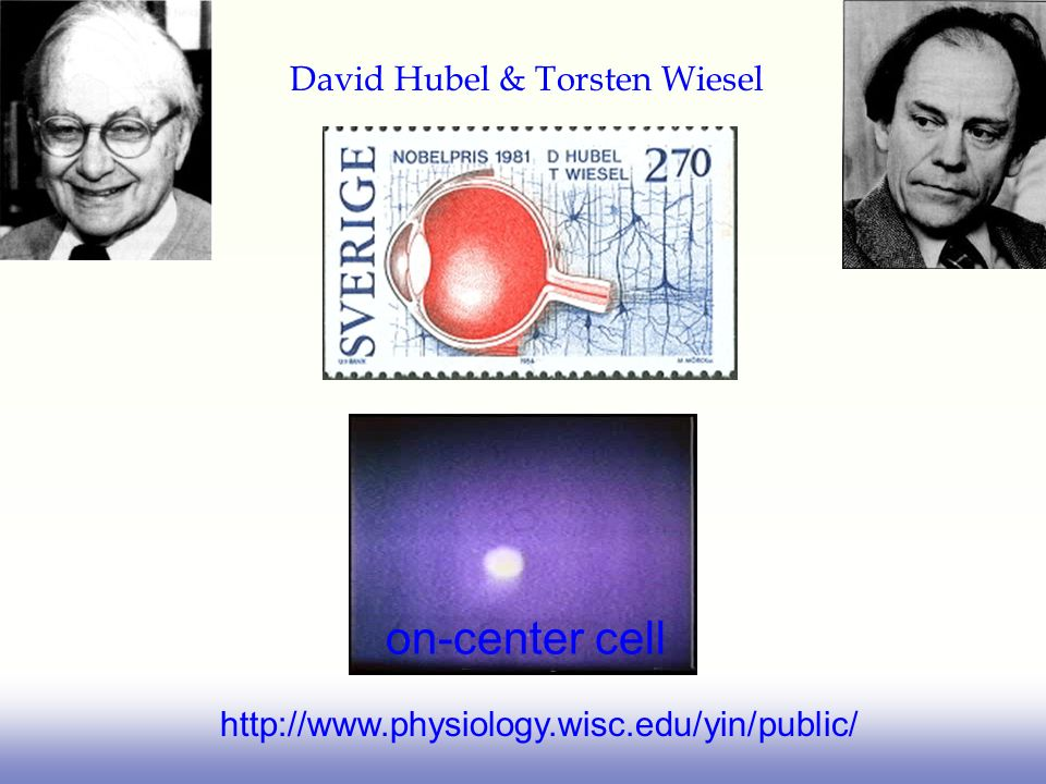 on-center cell David Hubel & Torsten Wiesel