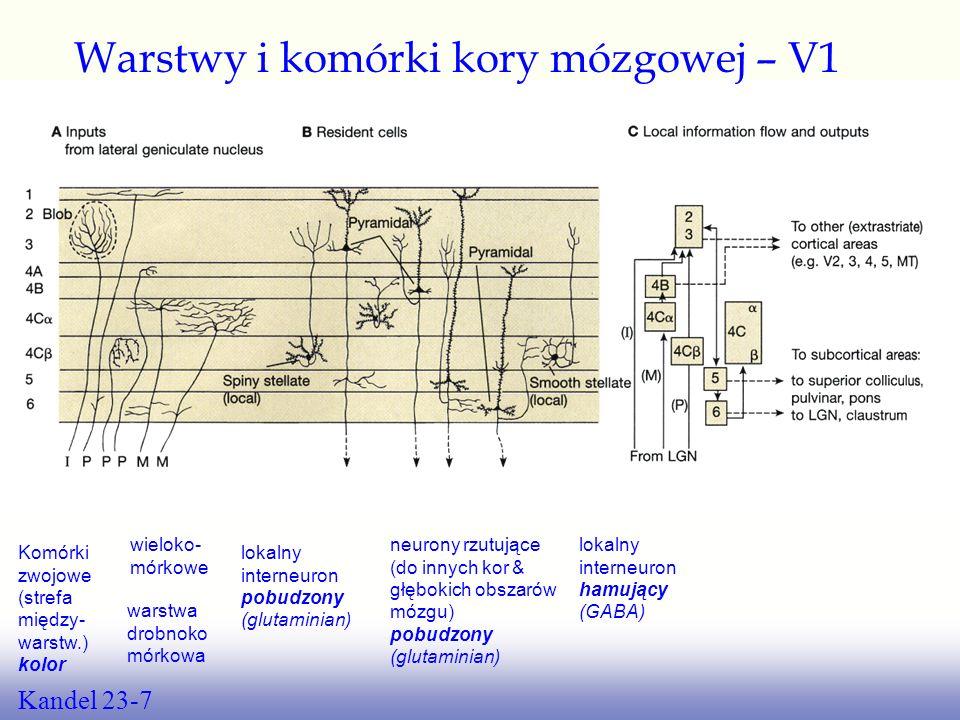 Kandel fig. 23-7 Warstwy i komórki kory mózgowej – V1 Kandel 23-7