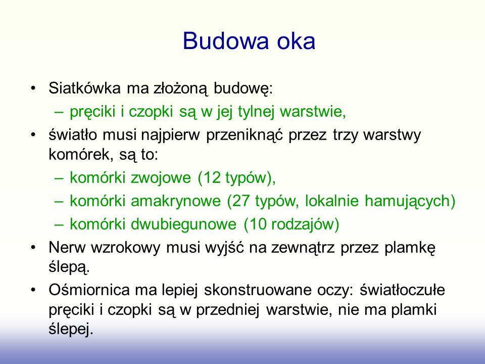 Budowa oka Siatkówka ma złożoną budowę:
