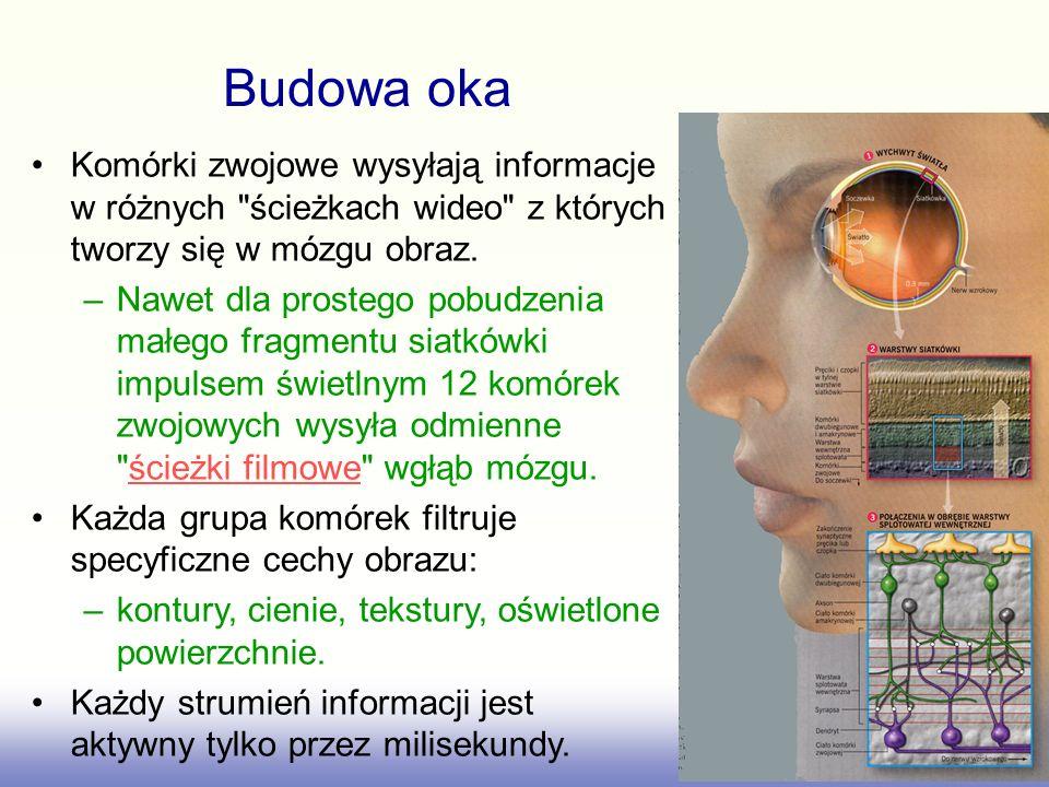 Budowa oka Komórki zwojowe wysyłają informacje w różnych ścieżkach wideo z których tworzy się w mózgu obraz.