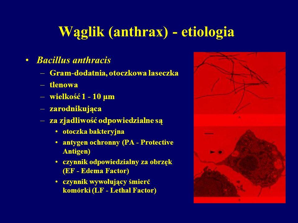 Wąglik (anthrax) - etiologia