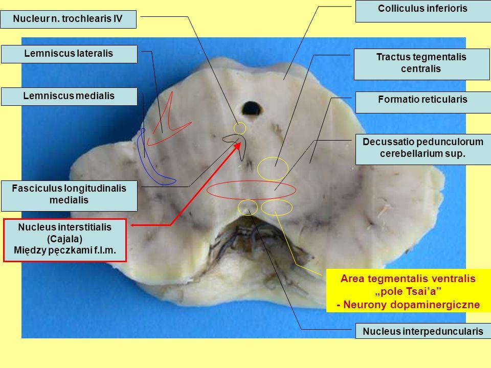 "Area tegmentalis ventralis ""pole Tsai'a - Neurony dopaminergiczne"