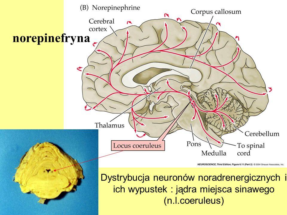 norepinefryna neuro3e-fig-06-11-2.jpg. Dystrybucja neuronów noradrenergicznych i ich wypustek : jądra miejsca sinawego (n.l.coeruleus)