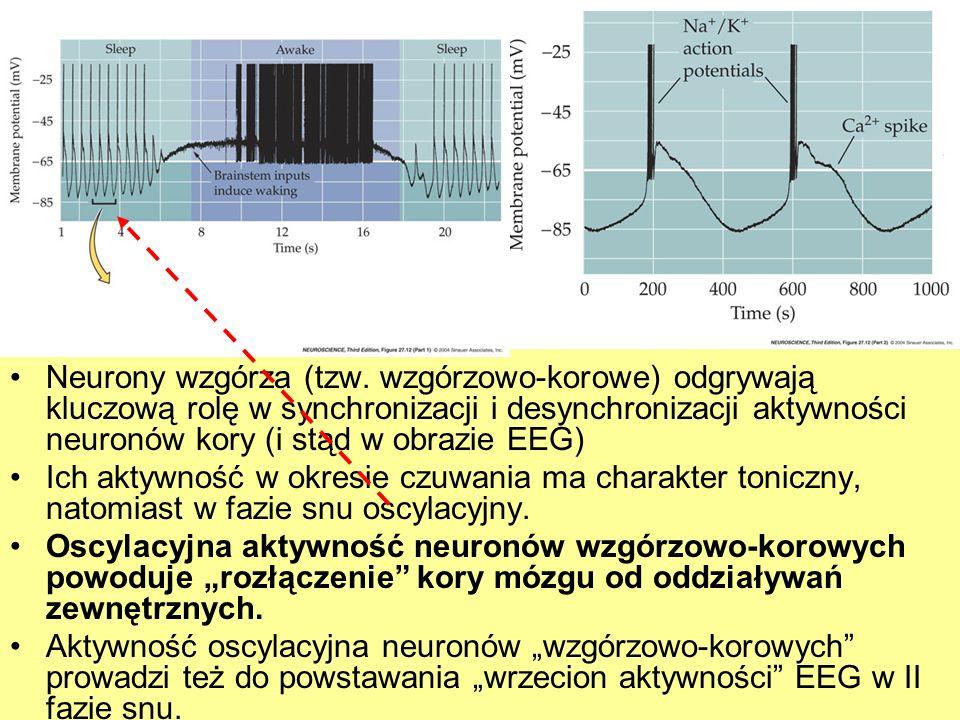 Neurony wzgórza (tzw. wzgórzowo-korowe) odgrywają kluczową rolę w synchronizacji i desynchronizacji aktywności neuronów kory (i stąd w obrazie EEG)