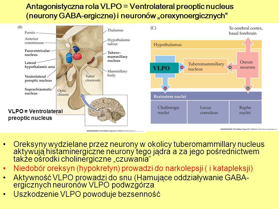 Niedobór oreksyn (hypokretyn) prowadzi do narkolepsji ( i katapleksji)