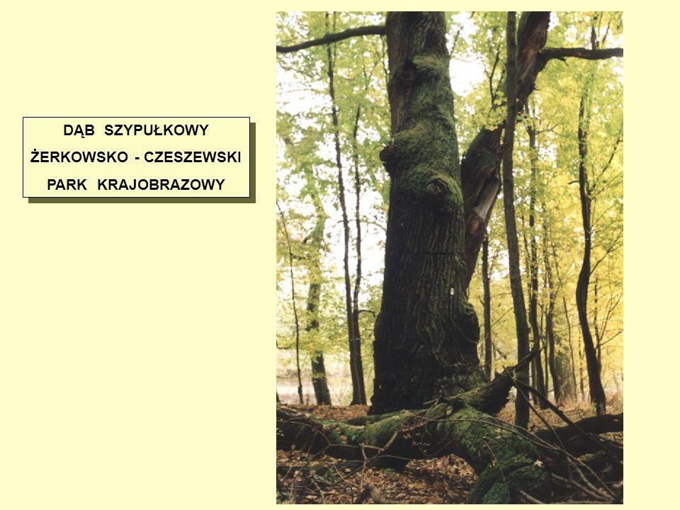 ŻERKOWSKO - CZESZEWSKI