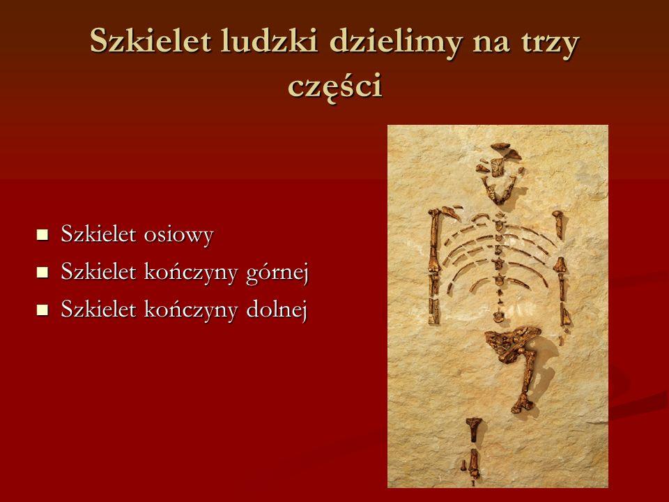 Szkielet ludzki dzielimy na trzy części