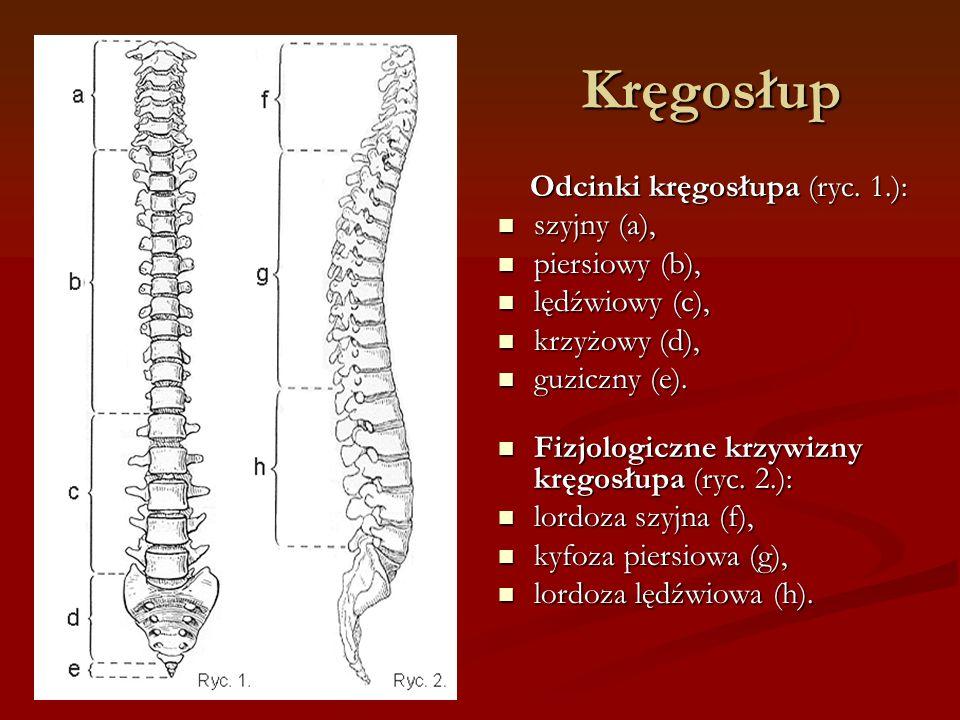 Kręgosłup Odcinki kręgosłupa (ryc. 1.): szyjny (a), piersiowy (b),