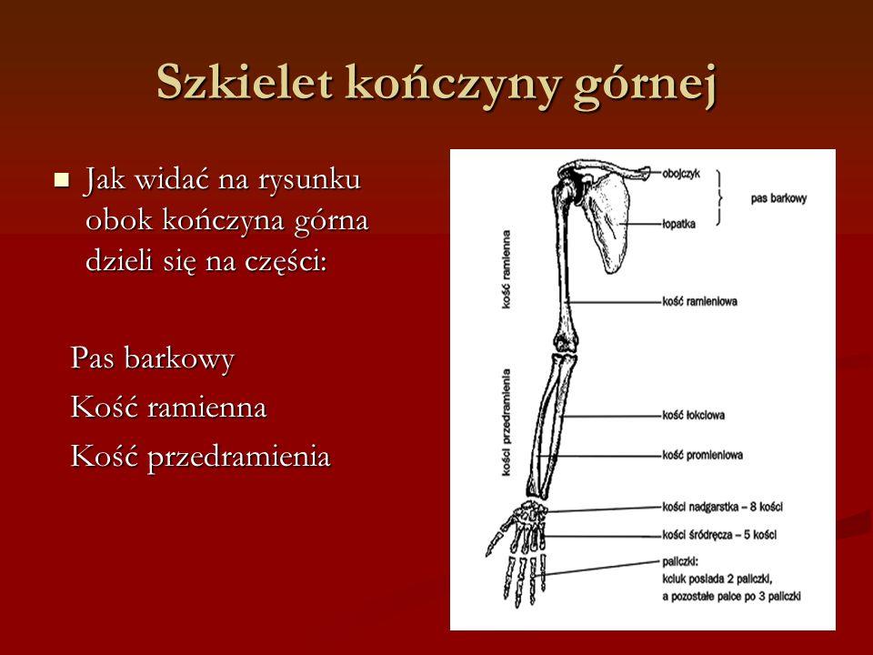 Szkielet kończyny górnej
