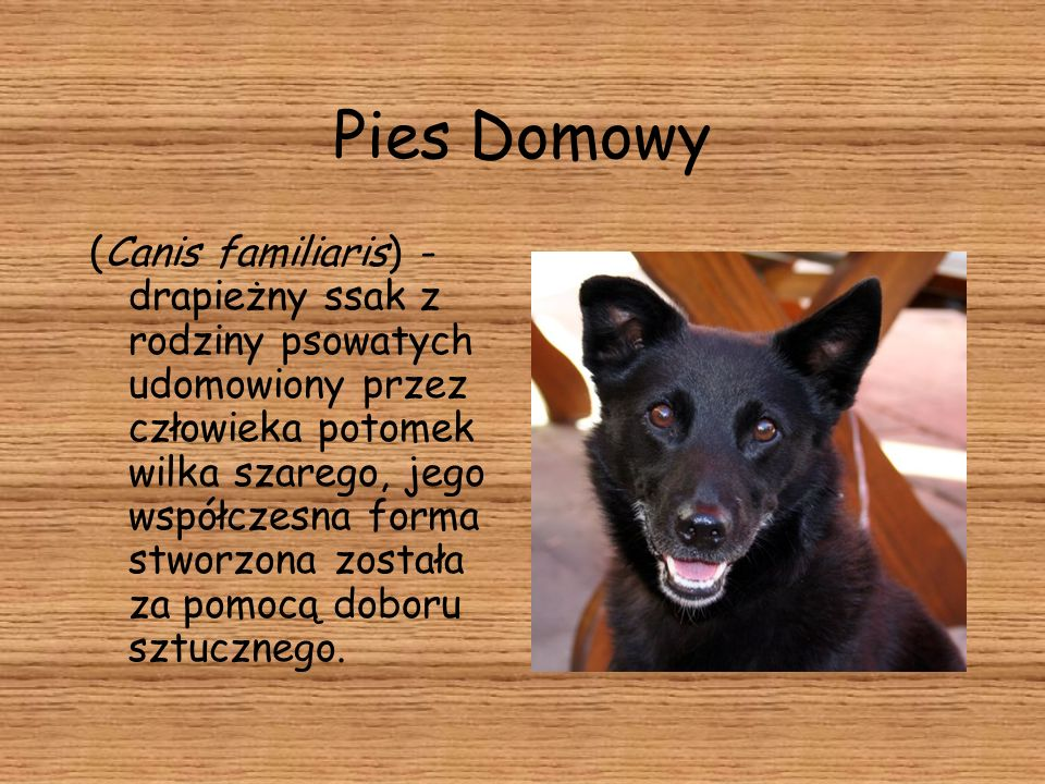 Pies Domowy