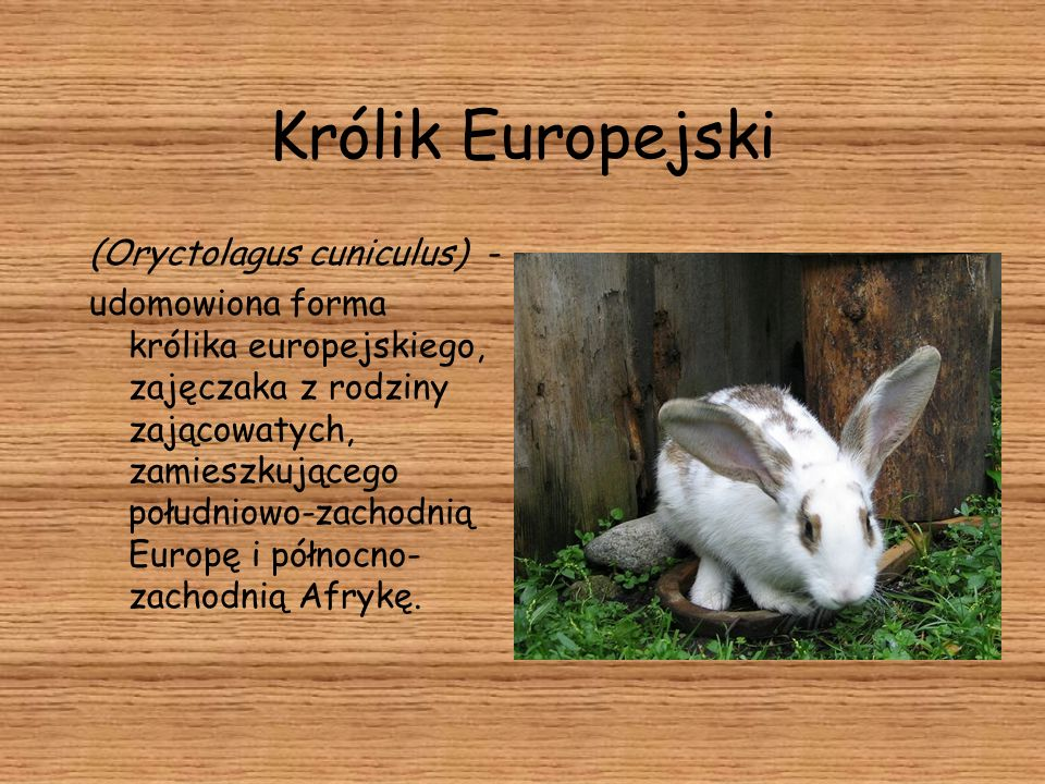 Królik Europejski (Oryctolagus cuniculus) -