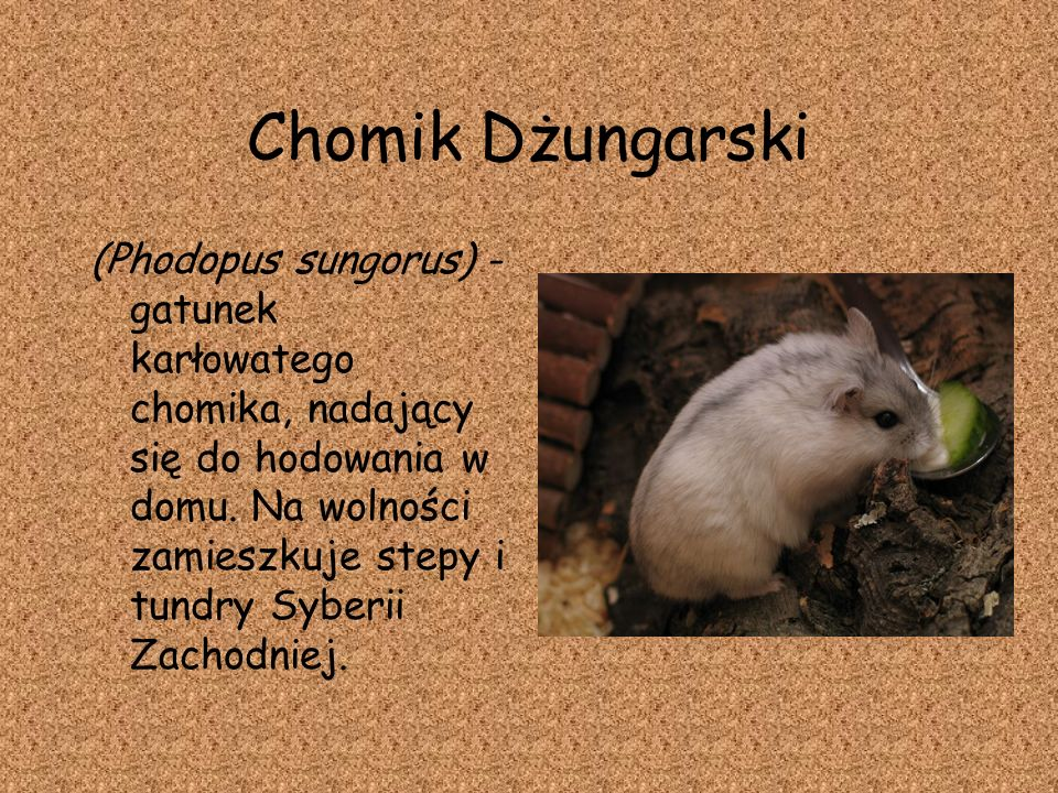Chomik Dżungarski
