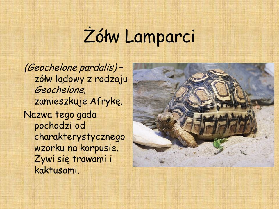 Żółw Lamparci (Geochelone pardalis) – żółw lądowy z rodzaju Geochelone; zamieszkuje Afrykę.