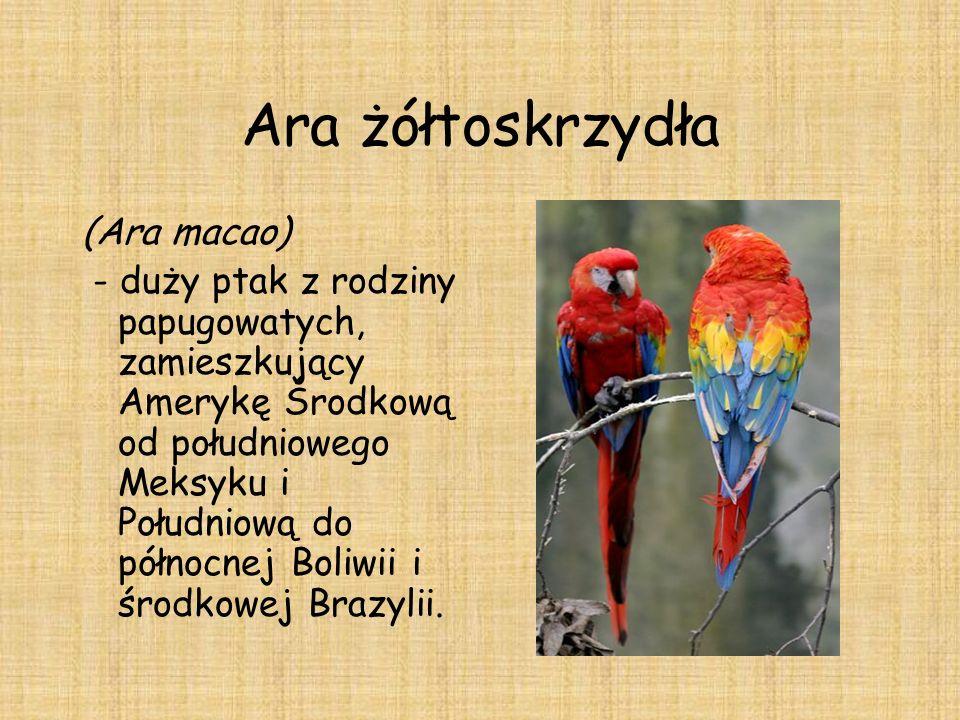 Ara żółtoskrzydła (Ara macao)