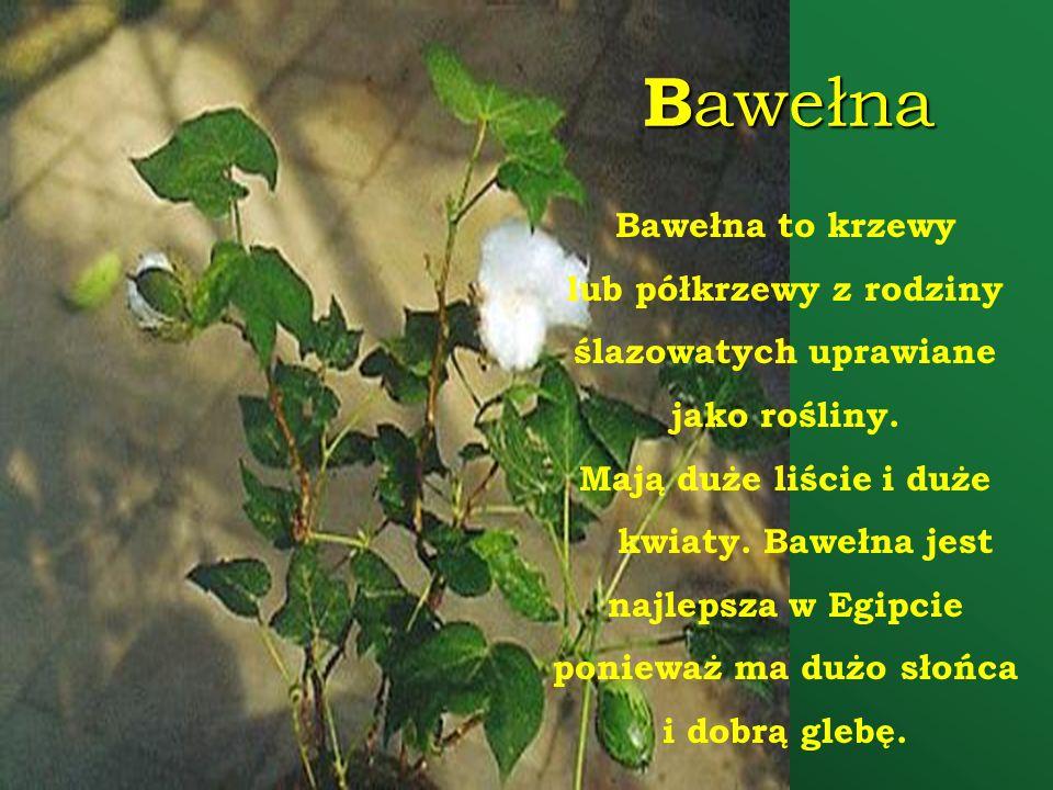 Bawełna Bawełna to krzewy lub półkrzewy z rodziny