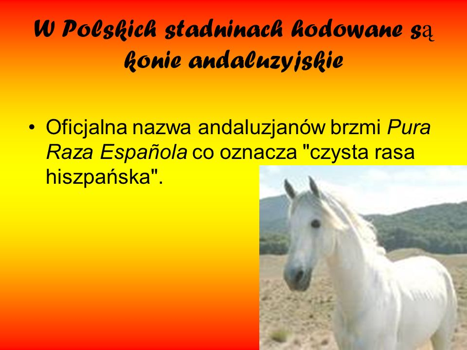 W Polskich stadninach hodowane są konie andaluzyjskie