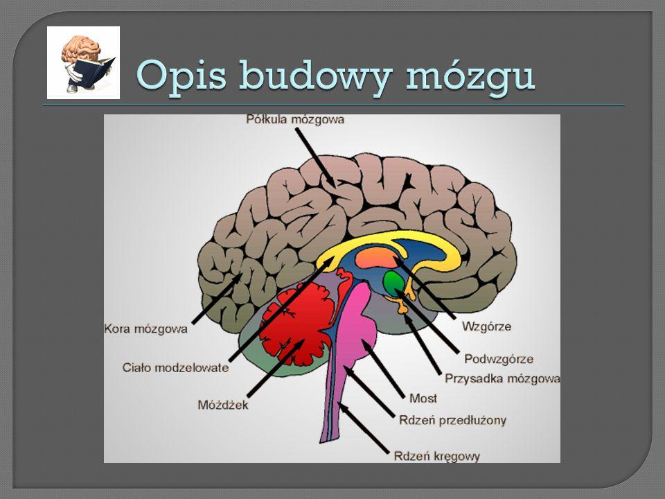 Opis budowy mózgu