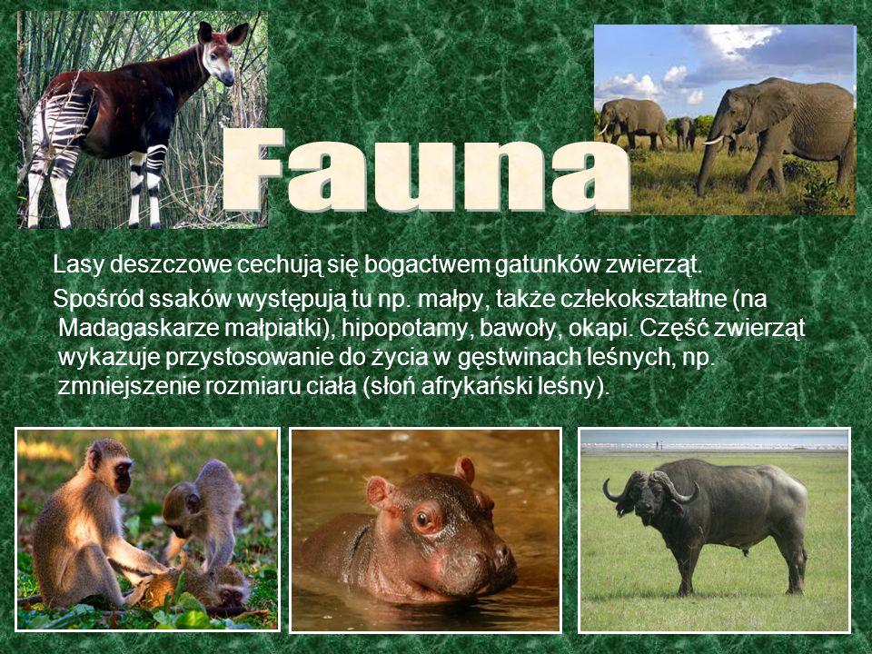 Fauna Lasy deszczowe cechują się bogactwem gatunków zwierząt.