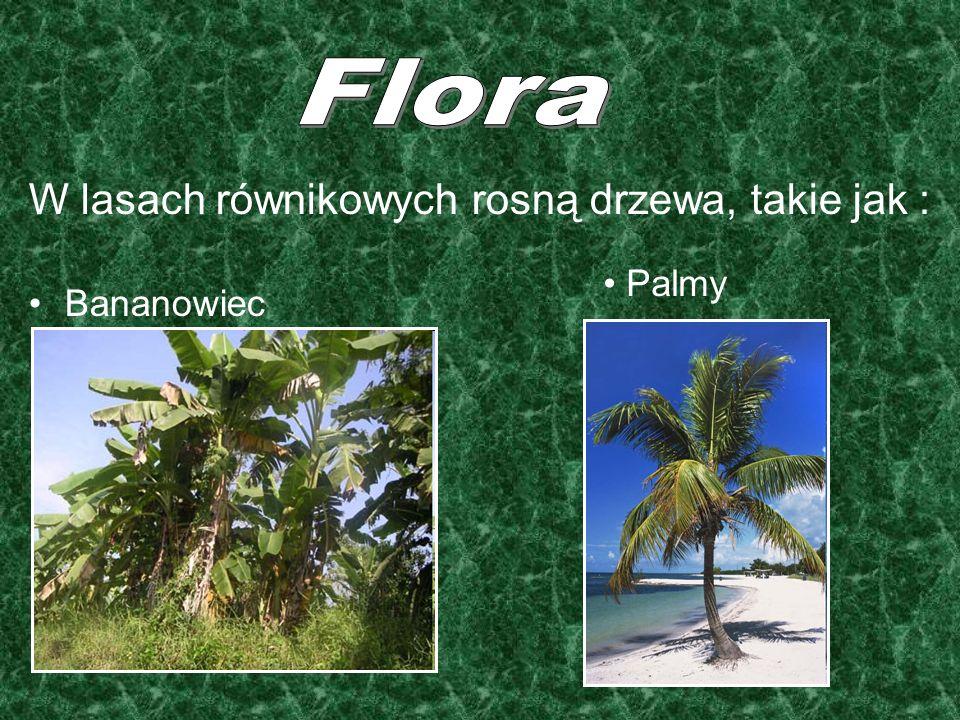 Flora W lasach równikowych rosną drzewa, takie jak : Bananowiec Palmy