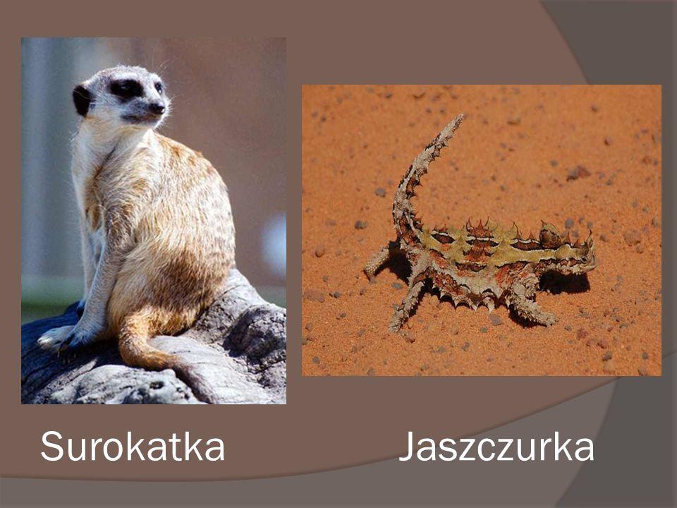 Surokatka Jaszczurka